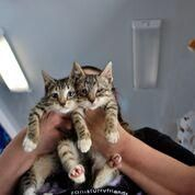 1/2018sl 10/2017 Tabby Kitties is an adoptable Domestic Short Hair searching for a forever family near New York, NY. Use Petfinder to find adoptable pets in your area.