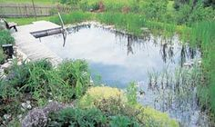 rushes, sedges and water lilies provide a beautiful border to your natural pond, and they keep the water clear and clean