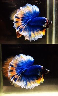 Archived Auction # - Fancy Mustard HM Male - Ended: Mon Jan 12 2015 Pretty Fish, Cool Fish, Beautiful Fish, Tropical Freshwater Fish, Freshwater Aquarium Fish, Tropical Fish, Betta Fish Types, Betta Fish Care, Colorful Animals