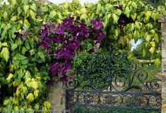 Clematis 'Jackmanii Superba' and hedera over wrought iron gate Wrought Iron, Gate, Stock Photos, Plants, Portal, Plant, Planets