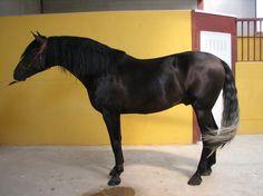 POTR0 PRE EXCLUSIVO, LÍNEA Y.MILITAR. en venta en Castilla y León :: HE4469A47 Grey Horses, Animals, Horse, Horses For Sale, Military, Animales, Animaux, Animal, Animais
