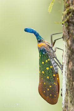 Lantern bug (Pyrops whiteheadi) - DSC_3952b