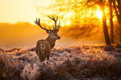 Photograph Red deer by Arturas Kerdokas on 500px