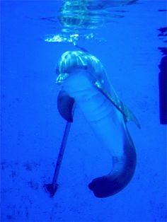 Winter, the dolphin.  At Clearwater Marine Aquarium.  Fell in love with this guy on Dolphin Tale.  Would LOVE to visit soon!!