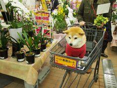 Shopping Time with Shiba inu Shiba Inu, Beautiful Dogs, Animals Beautiful, Cute Puppies, Cute Dogs, Animals And Pets, Cute Animals, Baby Animals, Akita Dog