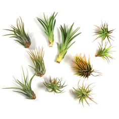 Air Plant Grab Bag - 10 Tiny Plants - these look so cool and possibly like I wouldn't kill them.