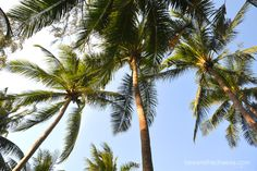 Looking up at palm trees in Phuket, Thailand. - www.bewarethecheese.com