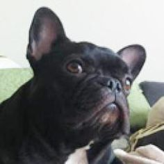 Yoko is an adoptable French Bulldog Dog in Fort Lauderdale, FL. Yoko is being fostered in Florida and will not be shipped. Applicants should be prepared to pick Yoko up in person. For more information...