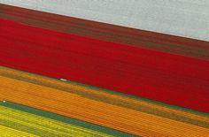 Planando sui campi di tulipani in Olanda