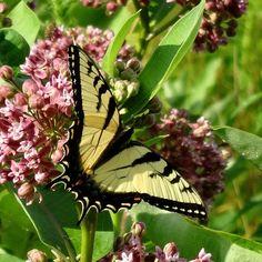 ❈ butterfly