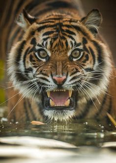 Have focus ignore distractions release your potential. Animals Of The World, Animals And Pets, Cute Animals, Wildlife Photography, Animal Photography, Tiger Artwork, Tiger Pictures, Cat Anatomy, Desenho Tattoo