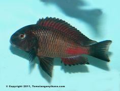 Tropheus Red Chipimbi