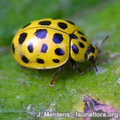 Things That Bring Good Luck 22 spot ladybird - psyllobora vigintiduopunctata   naturespot