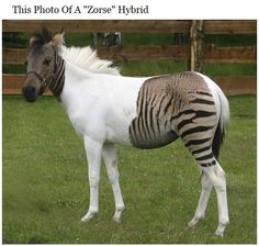 ZORSE: A zebroid (also zedonk, zorse, zebra mule, zonkey, and zebrule) is the offspring of any cross between a zebra and any other equine: essentially, a zebra hybrid. In most cases, the sire is a zebra stallion. Offspring of a donkey sire and zebra dam, called a zebra hinny, or donkra, do exist but are rare. Zebroids have been bred since the 19th century.Curiosities: Amazing and Real Pictures
