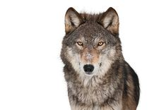 Gray wolf isolated with clipping path stock photo