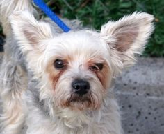 "SAFE ❤️❤️ 12-12-2016 by Next Stop Forever THANK YOU❤️❤️ARCHIE - A1099057 - - Manhattan Please Share:TO BE DESTROYED 12/12/16: ****PUBLIC ADOPTABLE****: A volunteer writes: I met Archie yesterday. Quite a cute little guy… All furry and fluffy…Giant butterfly ears…He accepted my leash easily, walked well around the block and did his business with a little marking. Archie has a big issue ""going to the bathroom"" and it makes him more cranky than he already is…(our veterinarians are looking into"