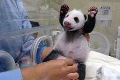 Большая панда (фото) – Редчайшее животное родом из Азии
