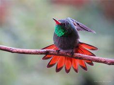 https://flic.kr/p/z3MaSz | Amazilia tzacatl | Nombre científico: Amazilia tzacatl Nombre común: Amazilia colirufa English name: Rufous-tailed Hummingbird Lugar: Medellín, Colombia Autor: © Wilmer Quiceno, 2015