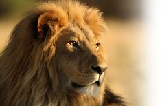 Hey guys ,today i create a post about lion . I share some images of lions who is copyright free you can use these images anywhere Image 1 . Beautiful Cats, Animals Beautiful, Lion Hd Wallpaper, Iphone Wallpaper, Animal Wallpaper, Wallpaper Wallpapers, Animals And Pets, Cute Animals, Wild Animals