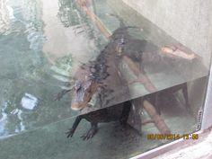 Krokoja vesialtaassa