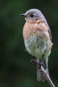 blue bird on limb