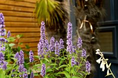 Agastache 'Blue Fortune' - Violet blue flowers from July to Sept. H sunny position, free draining soil. Summer Flowers, Blue Flowers, Colorful Garden, Colour, Plants, Free, Color, Colors, Plant