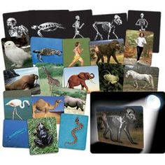 Animal X-rays for teaching about vertebrates and invertebrates!