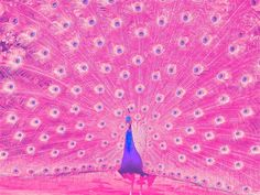Pink Peacock (endemic to SE Asia) - True or not true- makes a beautiful bird! Description from pinterest.com. I searched for this on bing.com/images