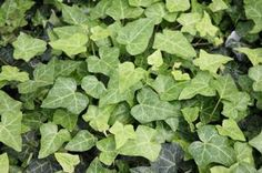 "Hedera helix 'Thorndale' - perennial Ivy. Shiny evergreen leaves spiral in alternate fashion around the light green woody stems. Adaptable to all sun or shade conditions. 6"" H x 18"" W"