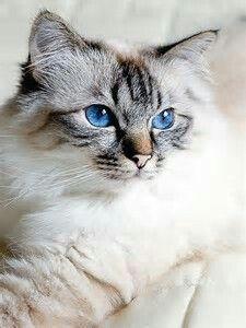 Seal Lynx Point Ragdoll Cat..Beautiful Blue Eyes