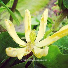 Magnolia acuminata 'Large Yellow' #gardening #tuinieren #jardinage #gartenarbeit #magnolia #flowers #bloemen #fleurs #blumen #tree #boom #arbre #baum #hortusconclusus #treenursery #boomkwekerij #pépinière #baumschule #uitbergen #berlare #zele #wichelen #schellebelle #lokeren #schoonaarde #dendermonde #laarne #beervelde #kalken #wetteren