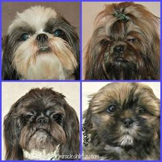 Learn what you need to know to care for your Shih Tzu's eyes at Miracle Shih Tzu http://miracleshihtzu.com