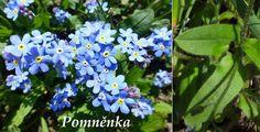 Pomněnka lesní (latinsky Myosotis sylvatica, čeleď brutnákovité, někdy nesprávně psaná jako poměnka) je dvouletá nebo víceletá bylina svěžích, prosvětlených lesů a lesních mýtin a lemů v nížinách, pahorkatinách i v horách. Je příslušníkem hájové květeny habrových doubrav, ale stejně dobře roste i v přirozených květnatých bučinách. V horách roste na švětlinách ve smrkových porostech a také na horských lukách a v subalpinských vysokostébelných společenstvech. Indikuje příznivý rozklad humusu v… Herb Garden, Herbs, Plants, Herbs Garden, Herb, Plant, Spice, Planting, Planets
