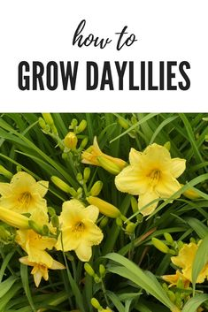 Learn to grow daylilies or daylily flowers. #flowergrowing #flowers #flowergardening #gardening