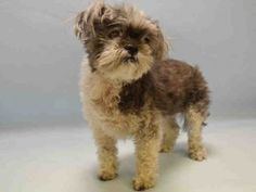 SUPER URGENT 02/15/16 Manhattan JOJO – A1065161 **OWNER SURRENDER 13 YEARS OLD!**   SPAYED FEMALE, GRAY / WHITE, SHIH TZU MIX, 13 yrs OWNER SUR – Reason LLORDPRIVA Intake condition EXAM REQ Intake Date 02/15/2016, From OUT OF NYC,
