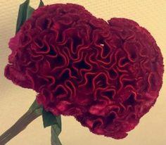 celosia mørk rosa