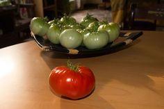 Afgelopen dagen zijn we begonnen met het #oogsten van de vele #tomaten. De allergrootste tomaten hebben we alvast geplukt en laten we nu binnen verder #rijpen. En gisteren alvast de eerste opgegeten, wat is dat toch lekker, zelf #gekweekte tomaten.
