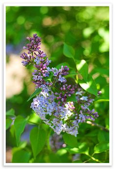 Lilacs...someday, I shall live by the sea and lilacs bushes will grow wild outside my bedroom window...