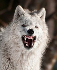 YIKES! I wonder if the person who took this photo is still with us. Wolf Images, Wolf Photos, Wolf Pictures, Wolf Love, Beautiful Wolves, Animals Beautiful, Tier Wolf, Wolf Hybrid, Angry Wolf