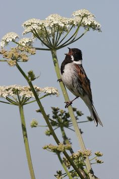Singing Reed Bunting by Neil Smith