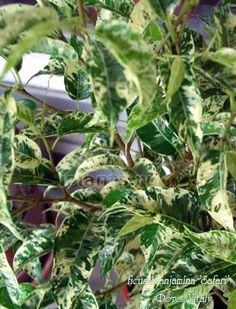 Фикус сафари Фикус бенджамина сорт Сафари 'Safari' Мелколистный, листья длиной около 3-4 сантиметров, слегка согнуты лодочкой вдоль центральной жилки, кончик только слегка отогнут. Листья имеют мраморную окраску: по темно-зеленому широкие и частые кремовые штрихи и пятна. Растет медленно. При недостатке света быстро утрачивает пестролистность.