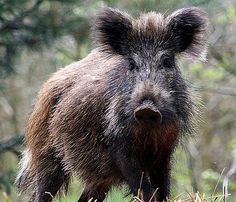 Wild Boar - Scruffy Swine   Also known as the Wild Pig