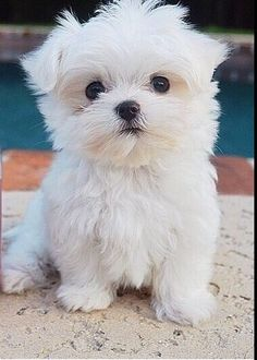 Malteze Not Much Bigger than a Can of Coke cute animals adorable dog puppy pets maltese Tiny Puppies, Teacup Puppies, Little Puppies, Cute Dogs And Puppies, Baby Dogs, Little Dogs, I Love Dogs, Doggies, Yorkie Puppies