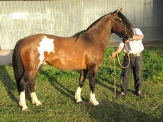 Criollo - stallion Carulo Changuito
