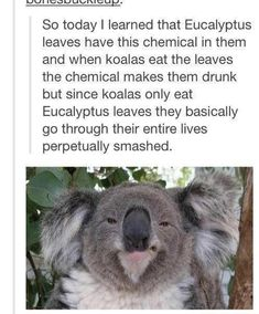 Funny pictures about They Are My Spirit Animal. Oh, and cool pics about They Are My Spirit Animal. Also, They Are My Spirit Animal photos. Australian Memes, Aussie Memes, Australian Animals, Funny Koala, Funny Animals, Koala Meme, Adorable Animals, Wild Animals, Baby Animals