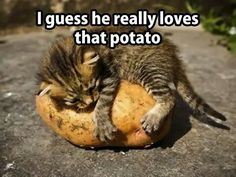 TAMING TEH WILD POTATO - LOLcats is the best place to find and submit funny cat memes and other silly cat materials to share with the world. We find the funny cats that make you LOL so that you don't have to. Like Animals, Cute Baby Animals, Funny Animals, Cutest Animals, Kittens Cutest, Cats And Kittens, Cute Cats, Funny Kitties, Ragdoll Kittens