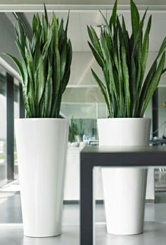 Hoge witte potten met Sanseveria