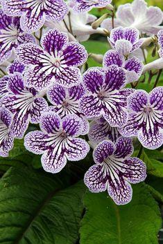 Unusual Flowers, Amazing Flowers, Pretty Flowers, Plants With Purple Flowers, White Flowers, Popular House Plants, Chelsea Flower Show, Planting Flowers, Flowering Plants