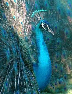 peacock blue open