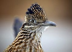 roadrunner, discovery, north america, desert animal, animal profile : Discovery Channel